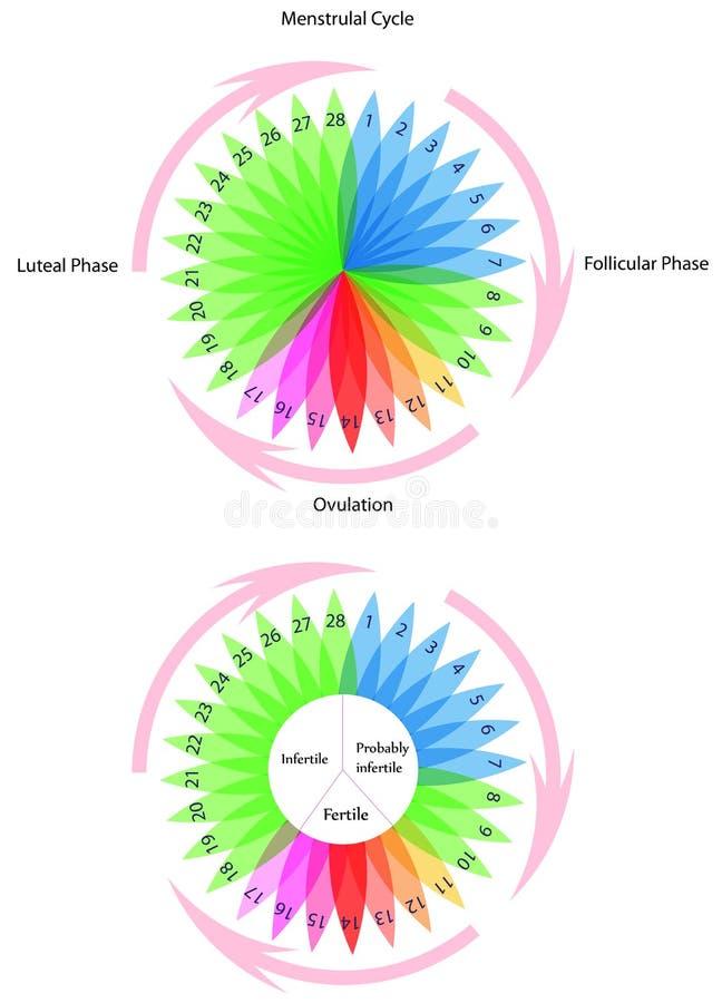 月经的循环 库存例证
