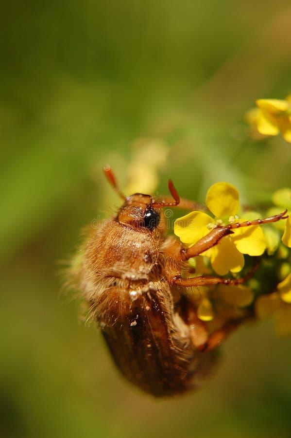 6月臭虫坐一朵黄色花 免版税库存图片