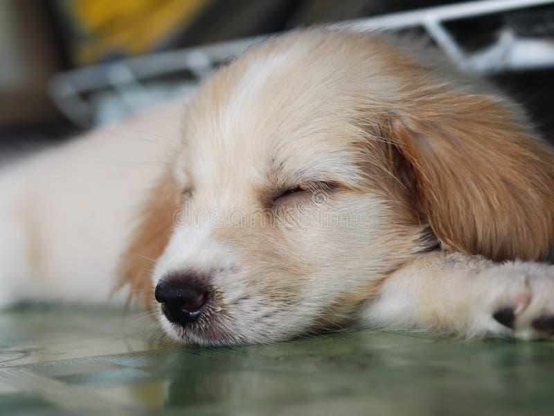 3月年轻人杂交繁育小狗长的长毛的毛皮 免版税库存图片