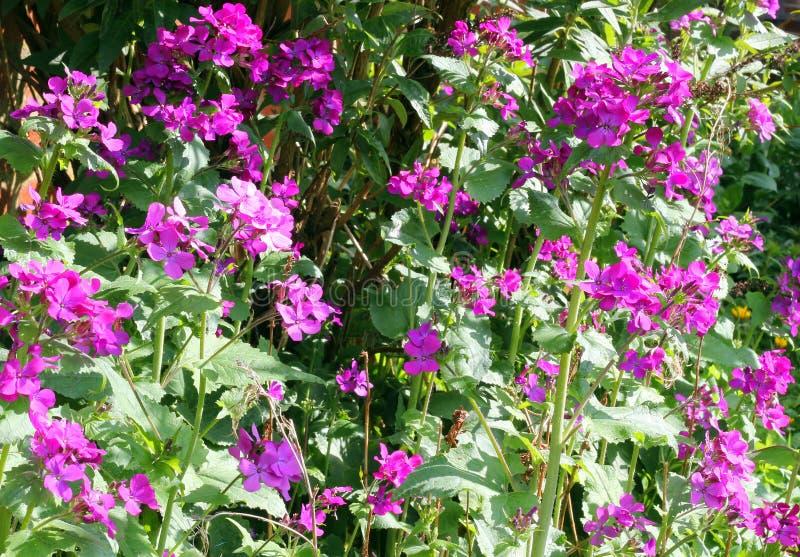 月经或诚实花在庭院里。 图库摄影