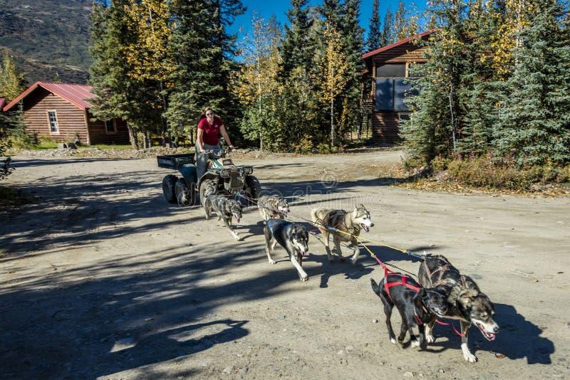 2016年8月29日-拉雪橇狗锻炼在Kantishna客栈, Denali国家公园,阿拉斯加的夏令时 免版税库存照片