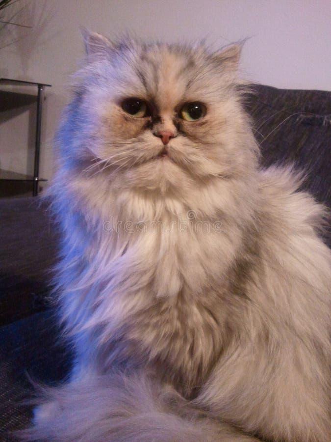 月/月球猫波斯语 免版税库存照片