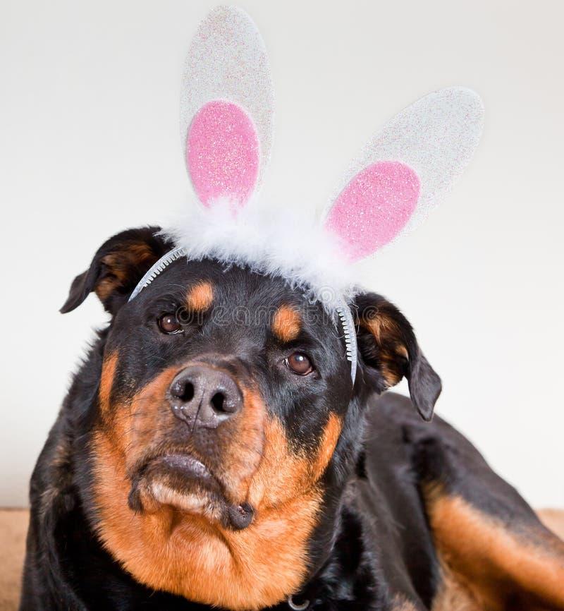 与兔宝宝耳朵的狗 免版税库存照片