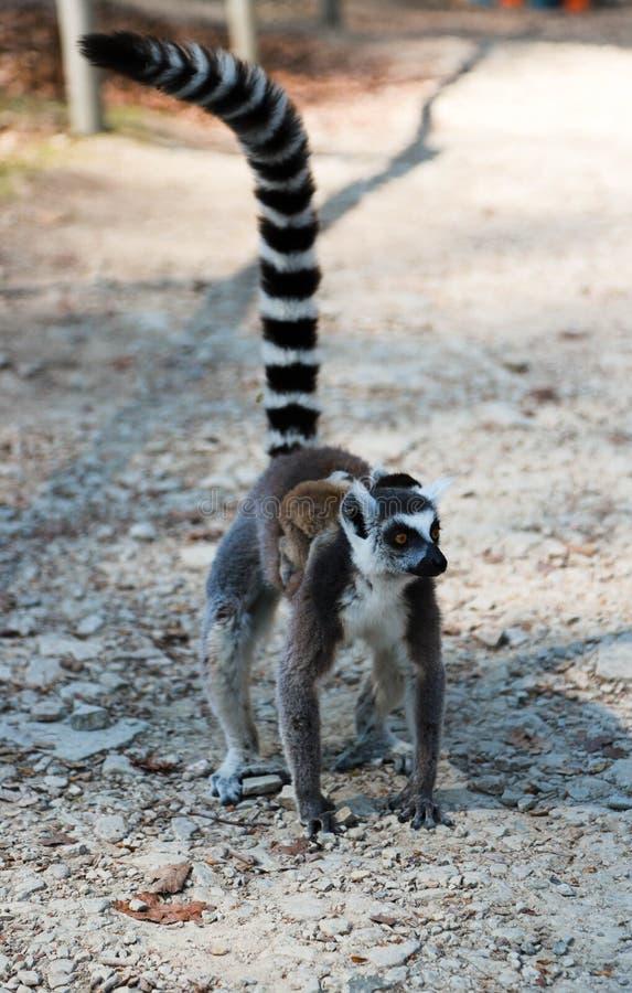 有一个婴孩的Lemur妈妈她的在地面上的后面步行与一条被上升的尾巴 妈妈和婴孩环纹尾的狐猴步行 免版税库存图片