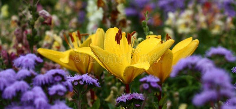 有一个黄色百合的花床全景 免版税库存照片