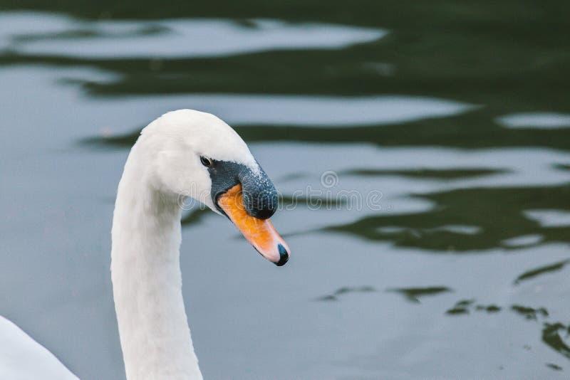 有一只白色天鹅的湖 免版税库存图片