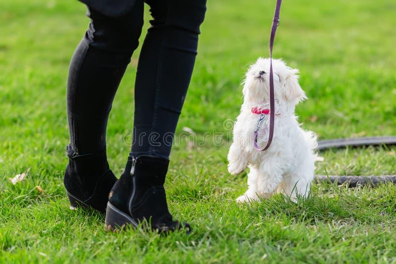 有一只马尔他小狗的人在小狗学校 免版税库存照片