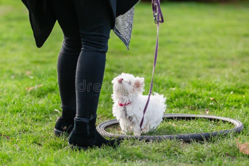 有一只马尔他小狗的人在小狗学校 库存图片
