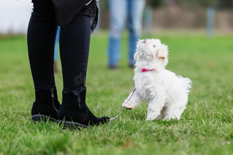 有一只malteser小狗的妇女在小狗学校 免版税库存照片