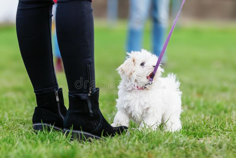有一只malteser小狗的妇女在小狗学校 免版税库存图片