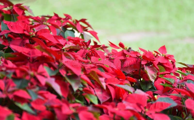 有一品红花红色的美丽的春天庭院 库存照片