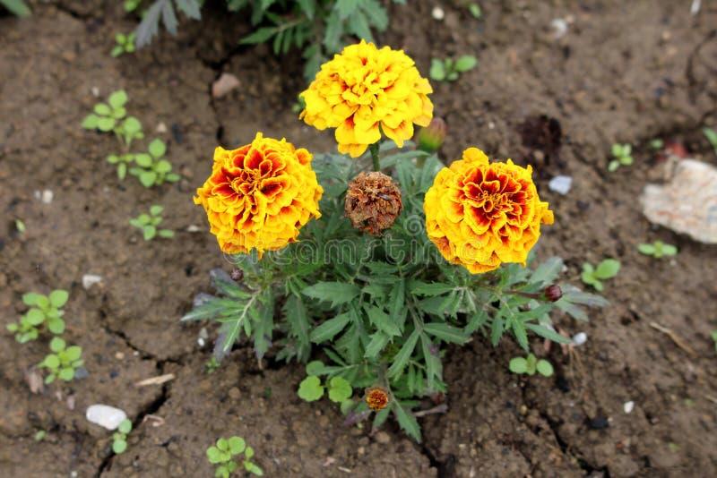 有三充分地开放和一个的万寿菊或Tagetes植物结束了与红色聚焦花的层状黄色围拢与鳍类 库存照片