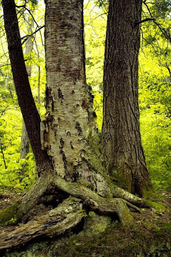 有三棵拥抱的树的绿色,发光的森林在北部纽约 免版税库存照片