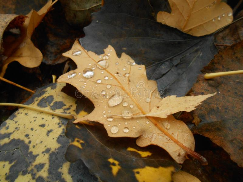 有下落的干燥橡木叶子 库存照片