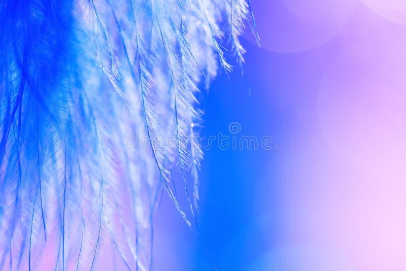 有下落的摘要美丽的蓝色羽毛帷幕在被弄脏的紫色背景 欢乐艺术背景,选择聚焦,拷贝 免版税库存图片