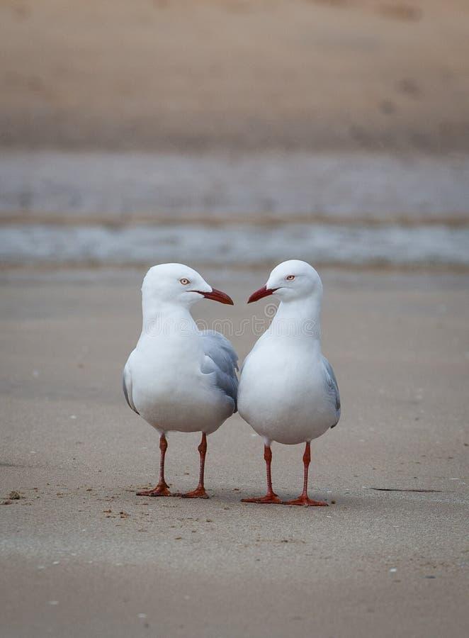 有两只的海鸥在海滩的交谈 库存照片
