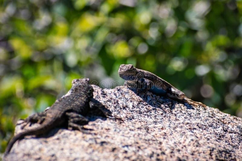 有两蓝色鼓起的蜥蜴剌蜥蜴树的occidentalis在岩石,优胜美地国家公园,加利福尼亚的交锋 库存图片