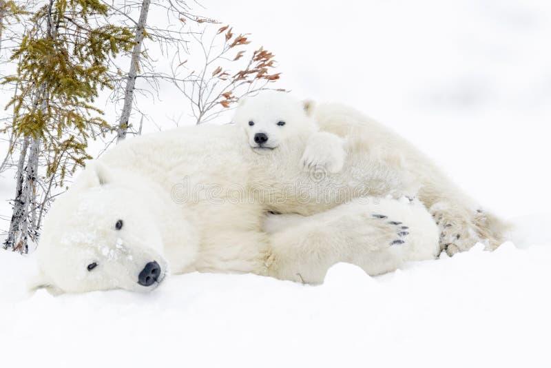 有两崽的北极熊母亲 免版税图库摄影