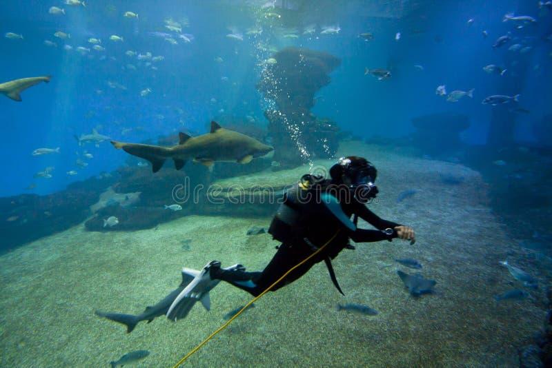 有五颜六色的异乎寻常的热带鱼和鲨鱼的潜水者水下在水族馆 免版税图库摄影