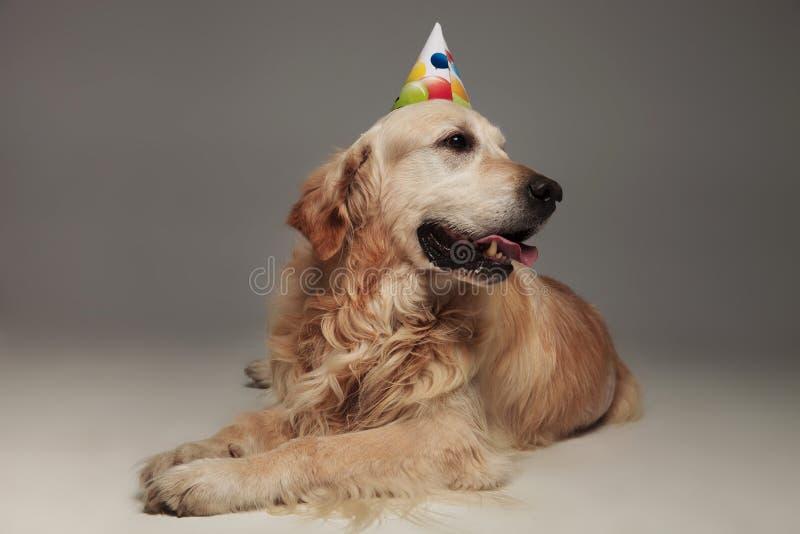 有五颜六色的气球生日盖帽的好奇拉布拉多看对si 库存照片