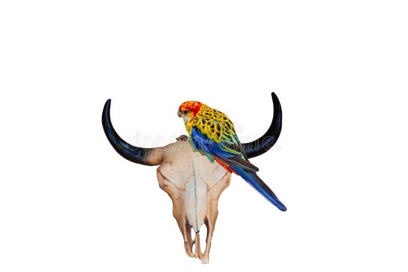 有五颜六色的长尾小鹦鹉的金牛座头骨 免版税库存图片
