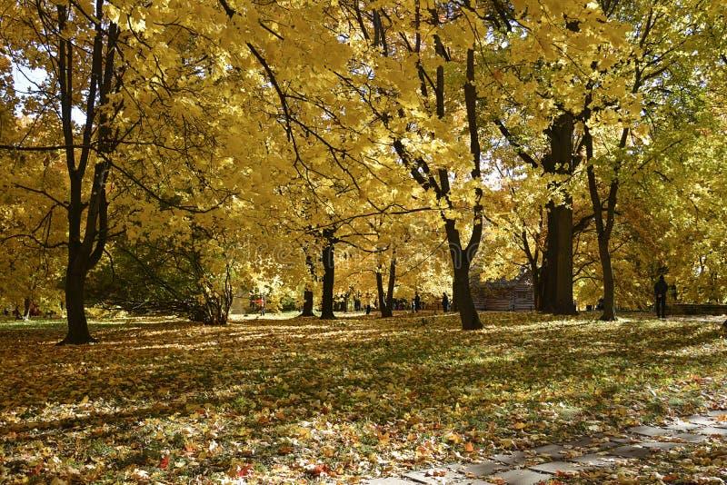 ?? 有五颜六色的黄色叶子在树和落叶的秋天公园在地面上 免版税库存图片