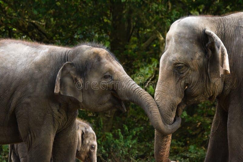 有亚洲大象女性的乐趣二 库存图片