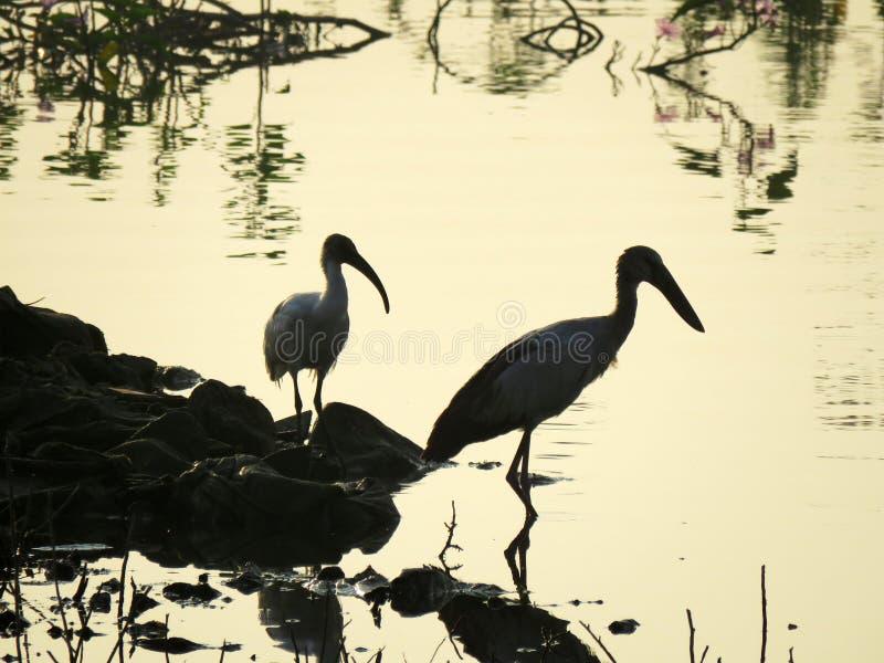 有些鸟剪影在西印度夺取了 库存图片