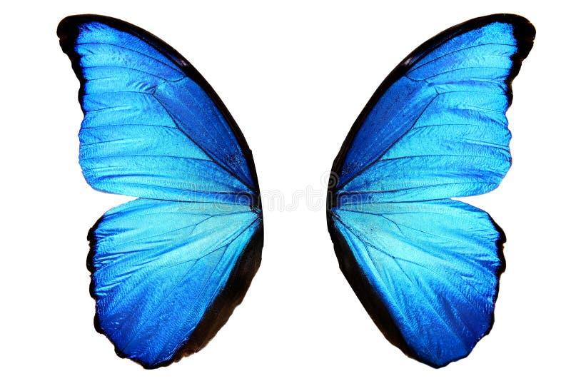 有交通事故多发地段的蓝色蝴蝶翼 背景查出的白色 免版税图库摄影