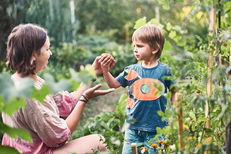 有他的会集成熟黑蕃茄的母亲的逗人喜爱的小男孩在菜园里 夏天休息愉快的童年 免版税库存照片