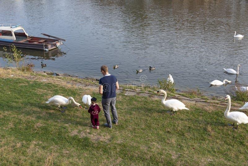 有他的小儿子哺养的天鹅的人在有小船的河岸在河的背景 免版税库存照片