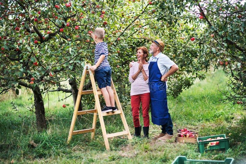 有他的摘苹果的gradparents的一个小男孩在果树园 库存图片