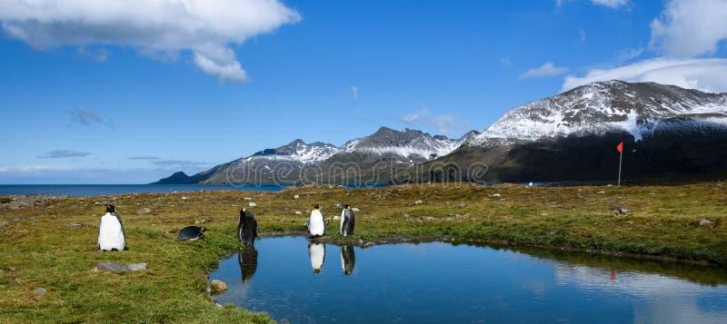 有企鹅国王的站立在一个镇静池塘边缘的全景,有反射的,在杆的红色指南旗子,好日子,美好 库存照片