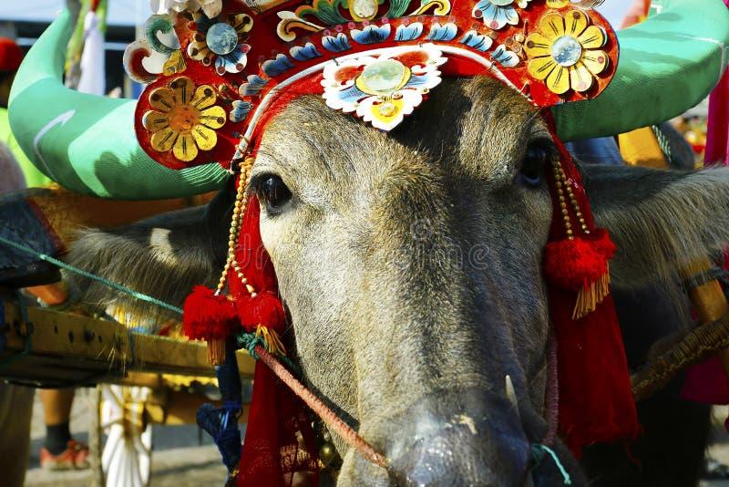 有传统装饰品的水牛城,在水牛种族节日-印度尼西亚期间 免版税库存照片