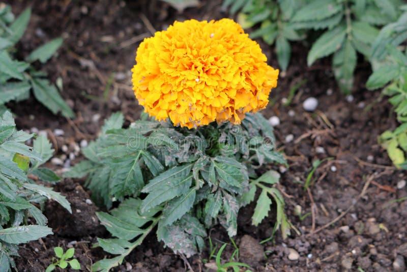 有充分地开放开花的黑暗的黄色层状花的唯一万寿菊或Tagetes植物围拢与鳍类绿色叶子生长 免版税库存图片