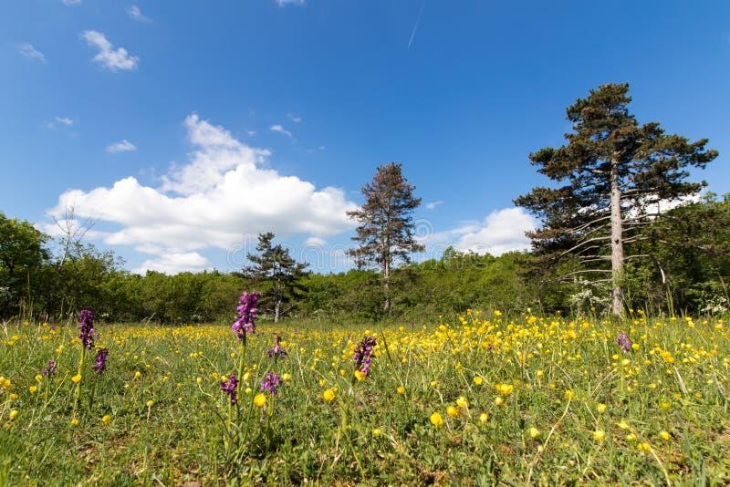 有兰花的干燥草甸在Buis de Ferreyres,瑞士 库存照片