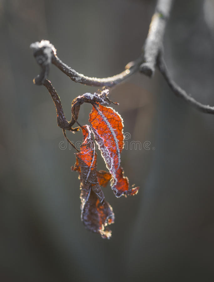 有冰晶的红色叶子 免版税图库摄影