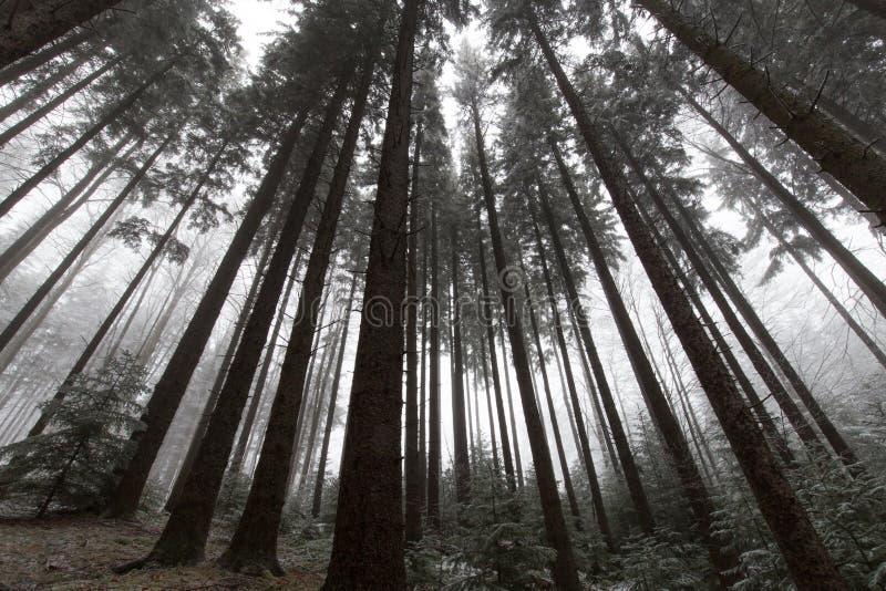 有冷杉木的美丽的高山森林 免版税库存照片