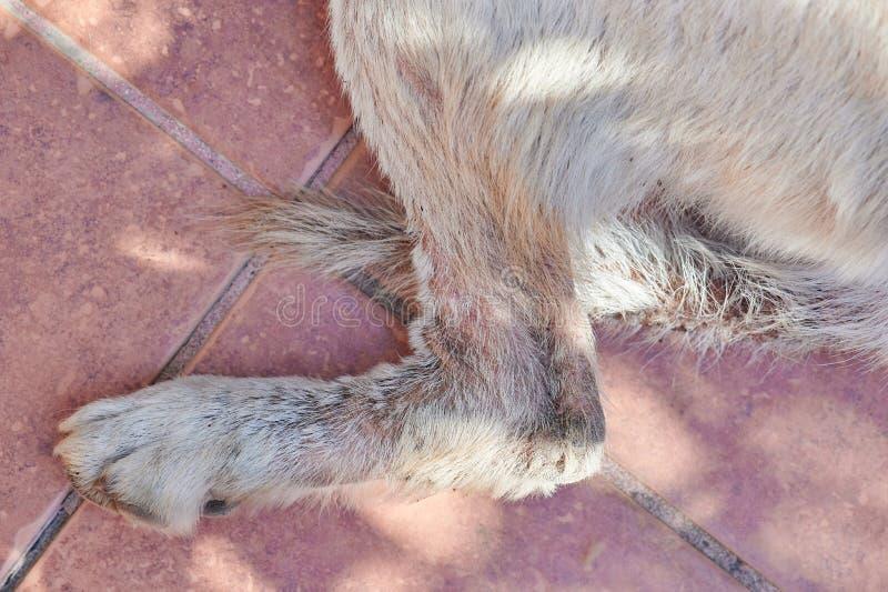 有创伤的狗腿从真菌 免版税库存图片