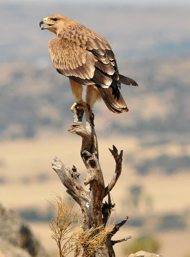 从他们有利看见的皇家老鹰 图库摄影
