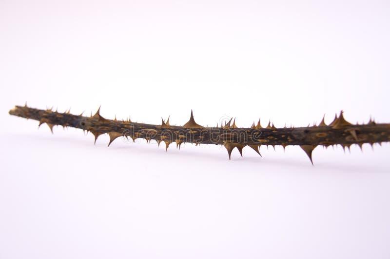 有刺的罗斯枝杈 库存图片