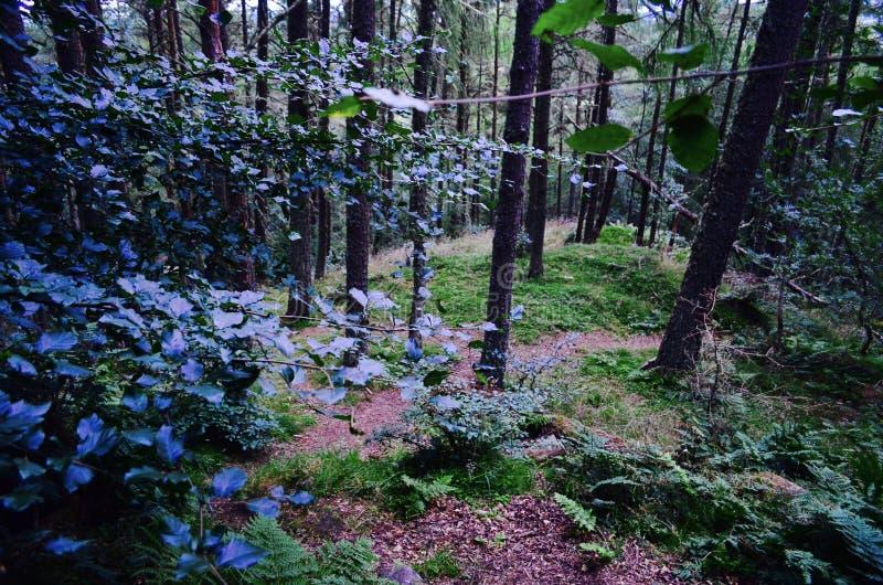 有剧烈的光和阴影的,苏格兰自然,狂放和美丽的森林 免版税图库摄影