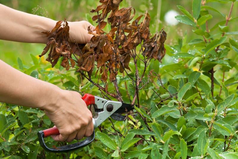 有剪枝夹修剪忍冬属植物的手 库存图片