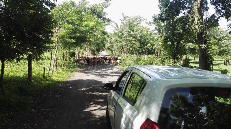 有动物的农村街道 免版税库存照片