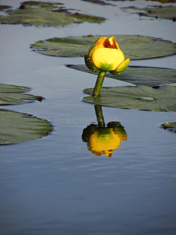 有反射的黄色池塘Lilly 库存照片