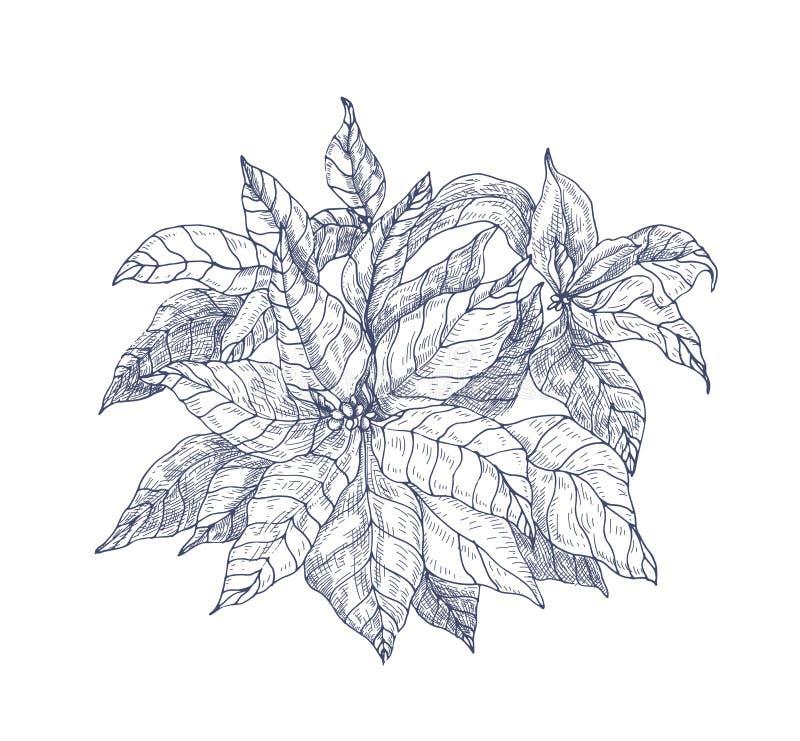 有叶子和苞的一品红植物手拉与在白色背景的等高线 典雅的圣诞节假日 库存例证