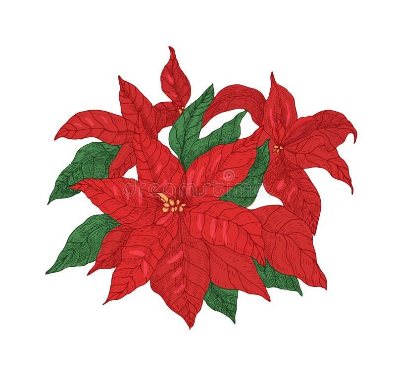 有叶子和苞的红色一品红植物手拉与在白色背景的等高线 典雅的圣诞节假日 皇族释放例证