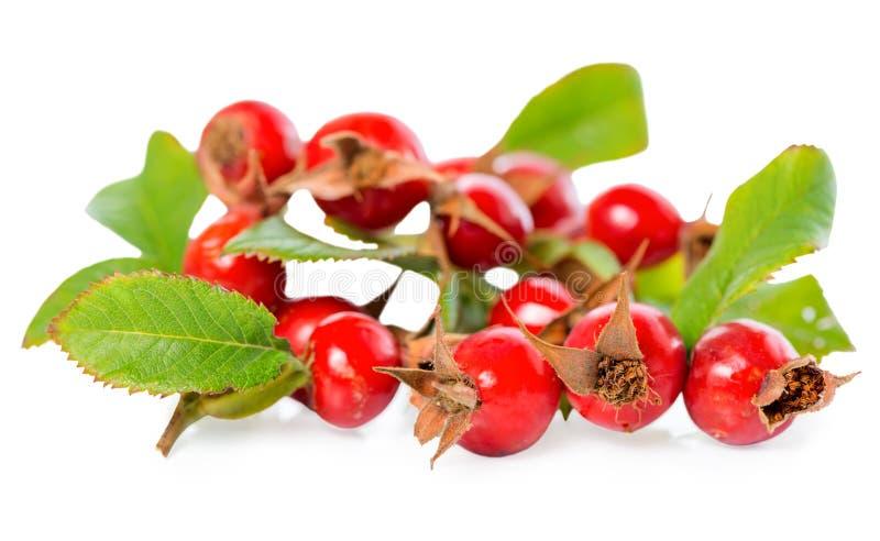 有叶子的美丽的野玫瑰果枝杈和红色成熟莓果或者狗 库存照片