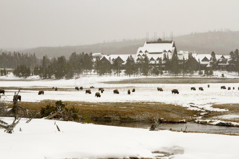 有吃草的北美野牛或水牛老忠实的旅馆在上部喷泉B 库存照片