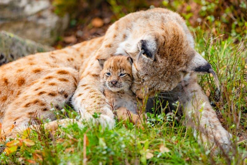 有同情心的天猫座母亲和她逗人喜爱的幼小崽在草 图库摄影